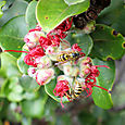 Ohi'a Tree with Bees