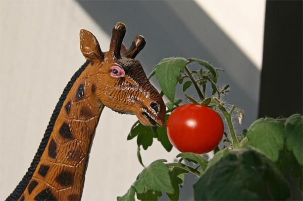 Giraffe_tomato