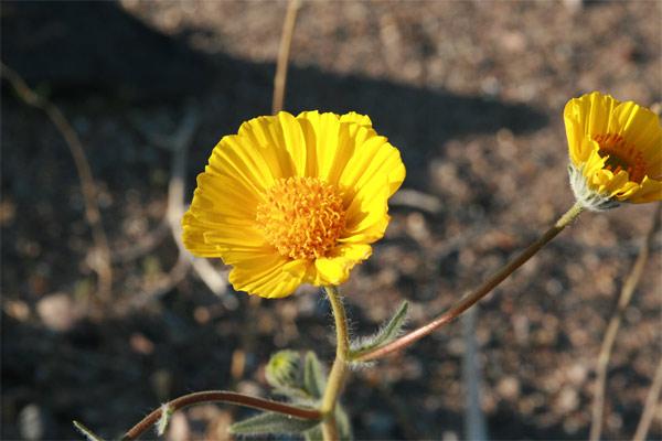 Dv_yellowflower