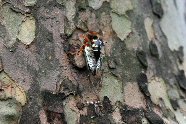 Cicada_wasp