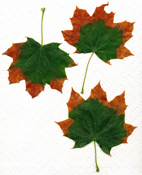 Mapleleaves092710