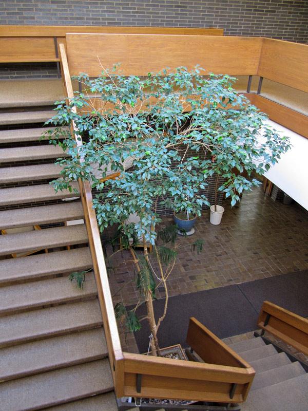 Ficus1