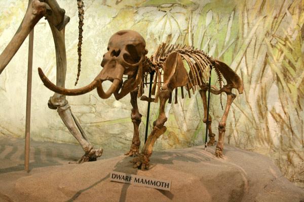 Mammoth_dwarf