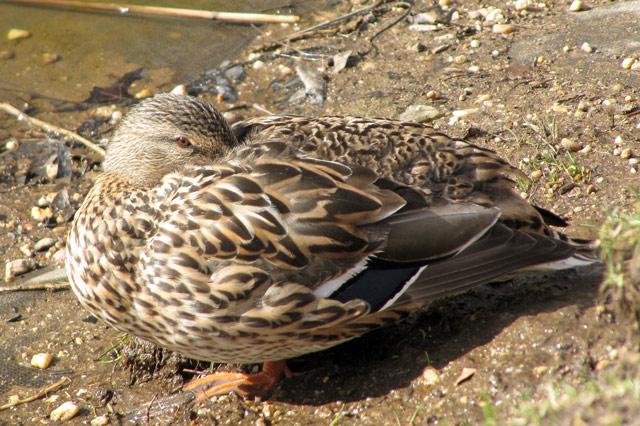 Duck032411