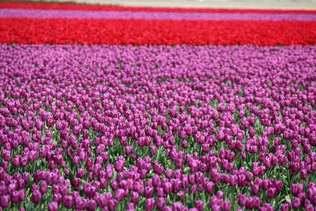Wa_tulips