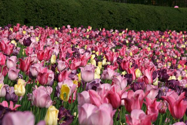 Tulips050111
