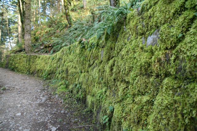 Horsetail_moss