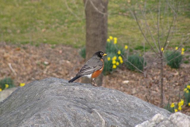 Robin031012