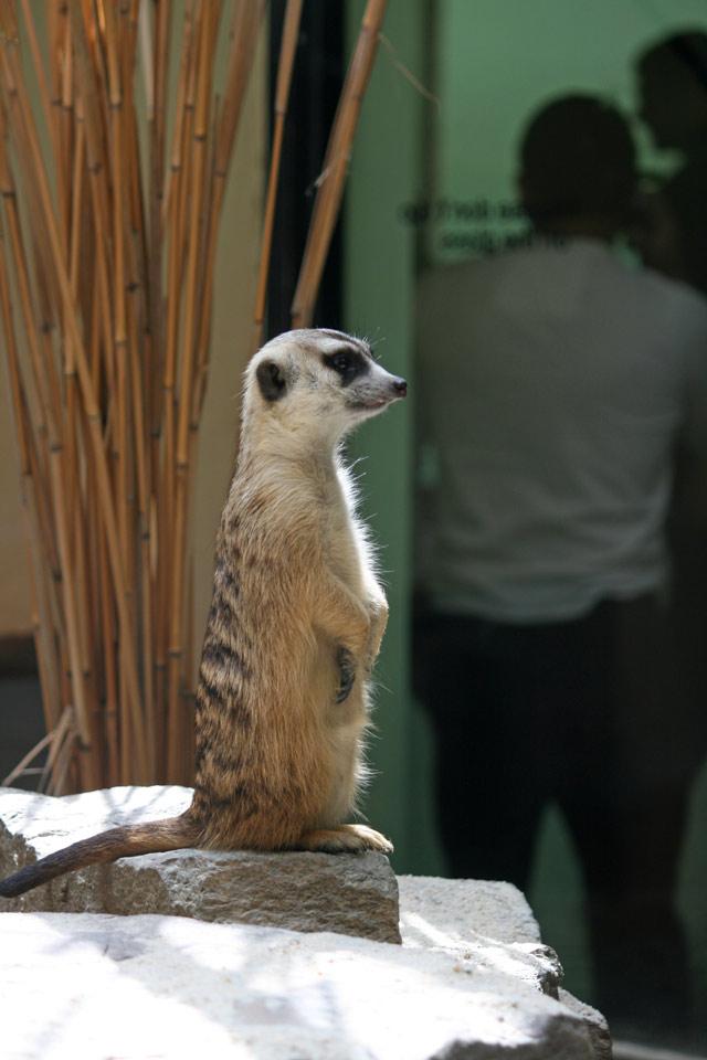 Zoo_meerkat