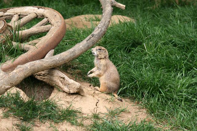 Zoo_prairiedog