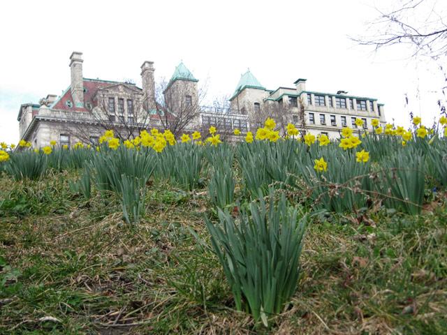 Daffodils030412