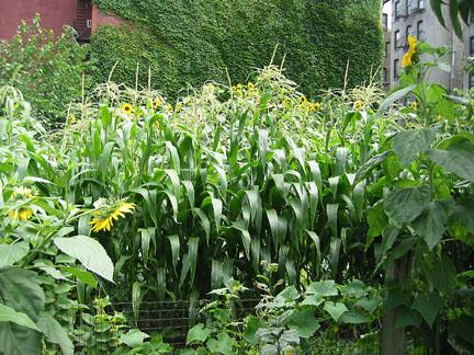 east harlem corn