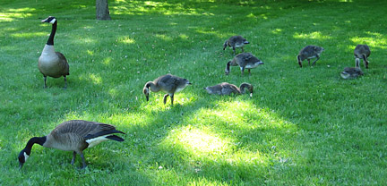 geese in may