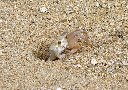 Hawai'i: Sand Crab