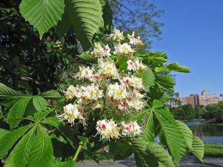 Horse_chestnut_flower