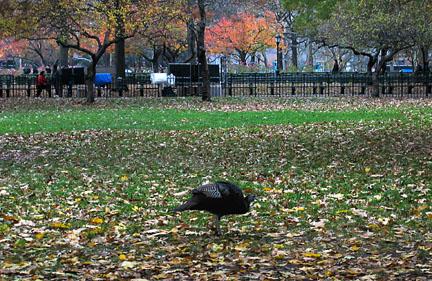 wild turkey in Battery Park