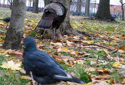 wild turkey in Battery Park