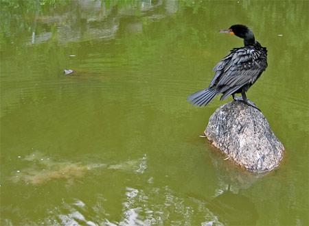 Cormorant poop