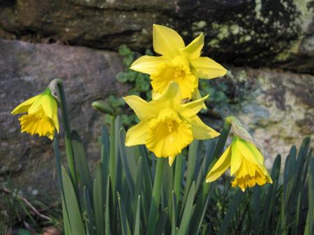 Daffodils_0103