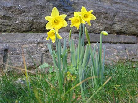 Daffodils_0103a
