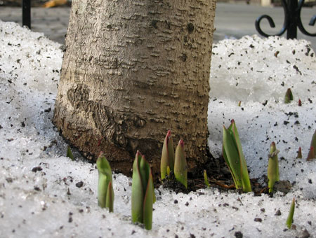 Daffodils_020705