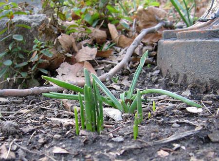 Daffodils 29 dec 2006