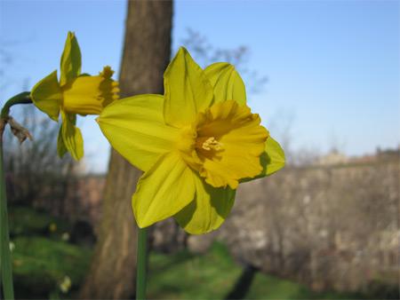daffodil in Morningside Park