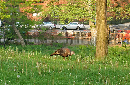 turkey in morningside park