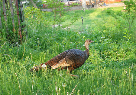 turkey in morningside park