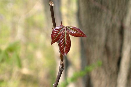 Poison_ivy1