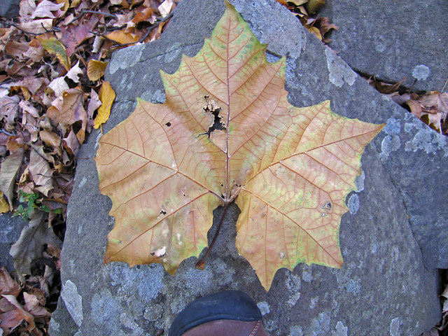 Sycamore_leaf
