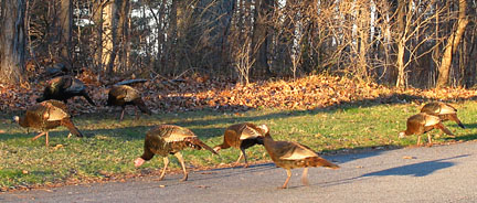 eight wild turkeys